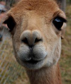 god I love Alpacas