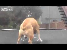 Mudd The Bulldog Jumps on The Trampoline