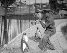 A zookeeper gives penguins a delightful shower from a watering can. (1930)