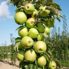 Urban Columnar Apples - Interesting way to grow apples