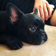 Black French Bulldog Puppy.