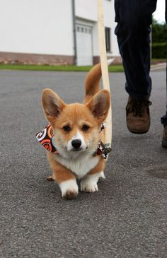 Here I come... walking down the street... I get the loudest squeals from... everyone I meet! Hey, hey, I'm a Corgi !!