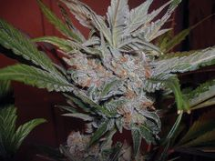 The Purps – BC Bud Depot     • 3rd Place HIGH TIMES Cannabis Cup Sativa, 2007  • HIGH TIMES Top 10 Strain, 2007  • 3rd Place HIGH TIMES Cannabis Cup Sativa,2009