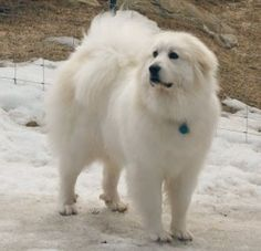 Great Pyrenees   Great Pyrenees more characteristics3