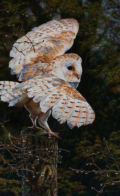 Beautiful Barn Owl