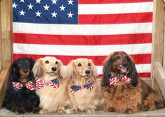 Dachshunds with American Flag / Happy 4th of July
