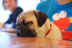 Dozing pug