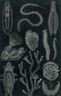 freshwater fauna