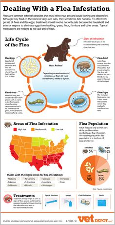 Dealing with fleas and flea infestations