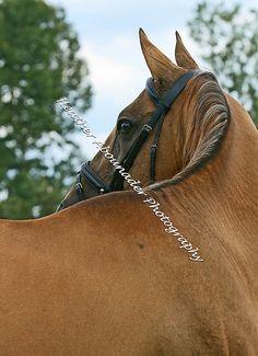 Akhal Teke Stallion - Murmansk