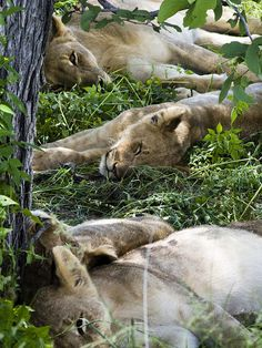 In the jungle, the mighty jungle, the lion sleeps tonight