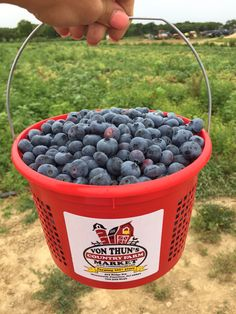 U-Pick blueberries .