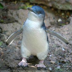 Little Fairy Penguin