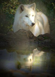Reflection - wolves photo