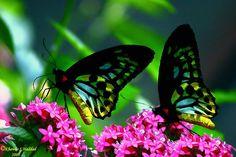 fotos de mariposas moradas
