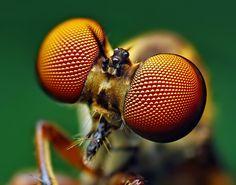 Wasp eyes