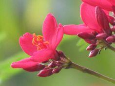 Flower! Cariacou - Caribbean