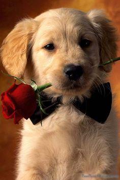 Be my Valentine <3 rose, iphone wallpaper, golden retrievers, bow ties, puppi, dog, valentine day gifts, labrador retrievers, flower