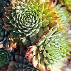 Great low-water plants: Sempervivum