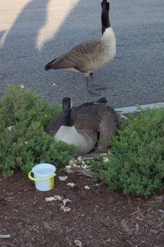 Even the Geese love Chuckee Cheese.  Babies under the mommy.