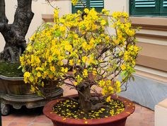 A bonsai plant of Mai (Ochna integerrima) in full bloom in Hanoi. The spectacular yellow flowers of this plant make it very popular in southern Vietnam, where the plant is purchased during Tết, the traditional Vietnamese New Year.