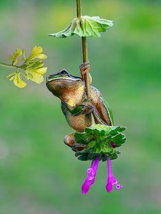 .swinging frog
