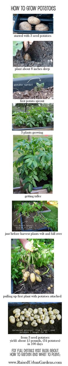 how to grow potatoes, blog about how to garden