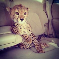 like a boss, animals, cat, cheetahs, car rides, seat, funni, fashion blogs, leopard
