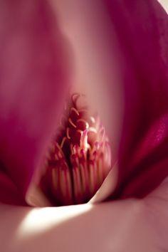 Magnolia x soulangeana — Photo by Ivo M. Vermeulen
