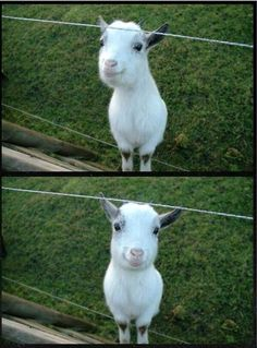 The happiest baby goat you ever did see.