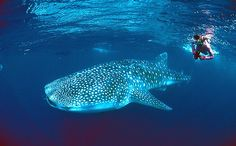 snorkeling with Whale Sharks in Mexico!!