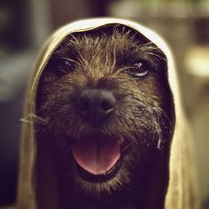a happy border terrier ...