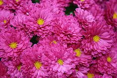 chrysanthemum - one of nature's own insect replellents