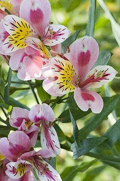 Daylilies!