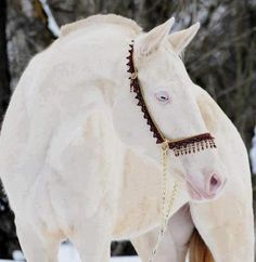 "Stunning white (cremello) horse. Once called ""albino,"" though technically there is no albinism in horses."