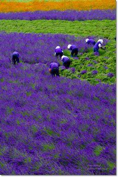 Lavender:  #Lavender field, Hokkaido, Japan.