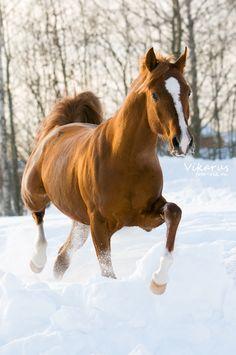 ☀arabian horse Eksel 2 by ~Vikarus