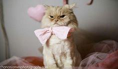 lion, animals, beds, grumpy kitty, bow ties, parties, bows, divas, grumpy cats