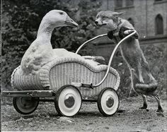 And here's a fox pushing a goose in a wicker wagon.