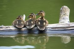 ducks (:
