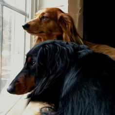 Long haired love by dachshund