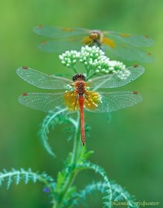❤❤❤ Copyrights unknown. Delicate Dragonflies.