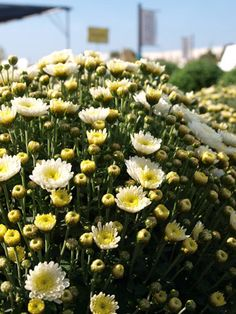 Mums have different flower forms (including daisy-like singles, pompoms, and more), so shop around to find your favorite. http://www.spottsgardens.com/return-of-the-mums/