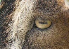 Goats have rectangular pupils. This is highly disturbing.