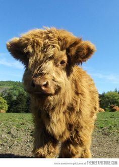 A baby highland cow