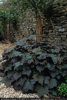 Coral bells (heuchera) - rich color and drought tollerantt for a shady spot in the yard