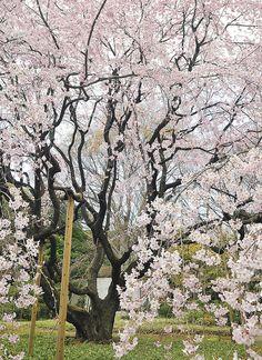 RIKUGI-EN WEEPING CHERRY TREE, via Flickr.