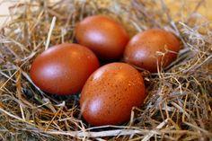 Dark red Marans chicken egg...