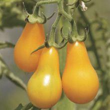 Yellow Pear Tomatoes, sooo good in salads!