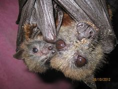 flying fox mom and pup